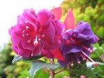 Kwiat fuksji